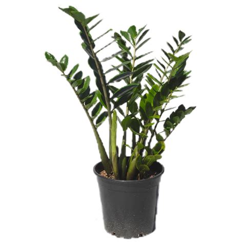 Low Light Tropical Plants - tropical exotics 187 blog archive 187 zanzibar gem