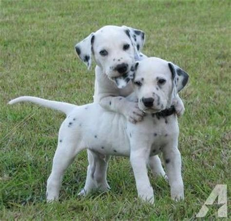 how much are dalmatian puppies 25 best ideas about dalmatian puppies for sale on dalmatians for sale