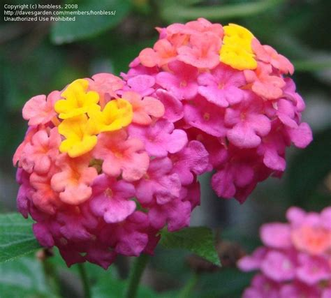 lantana colors lantana flower changes color from yellow to coral to pink