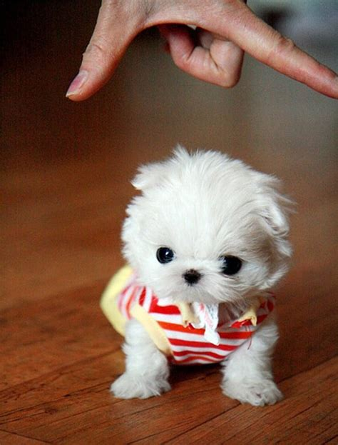 teacup maltese puppy dogs pets maltese puppies and dogs