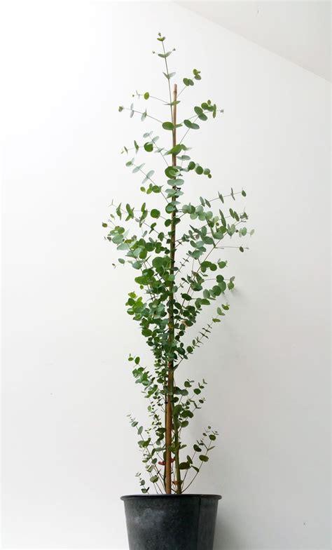 Plante D Eucalyptus by Quot Plante Eucalyptus Ikebanart Les Plantes