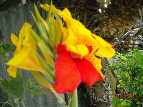 canna indica in vaso canna indica coltivazione
