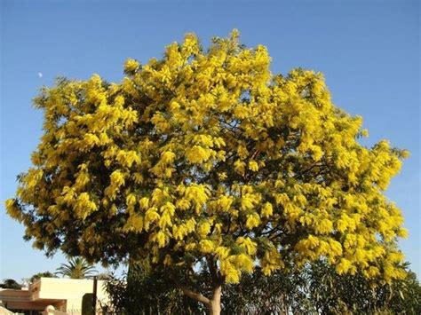 pianta di mimosa in vaso pianta di mimosa piante da giardino caratteristiche