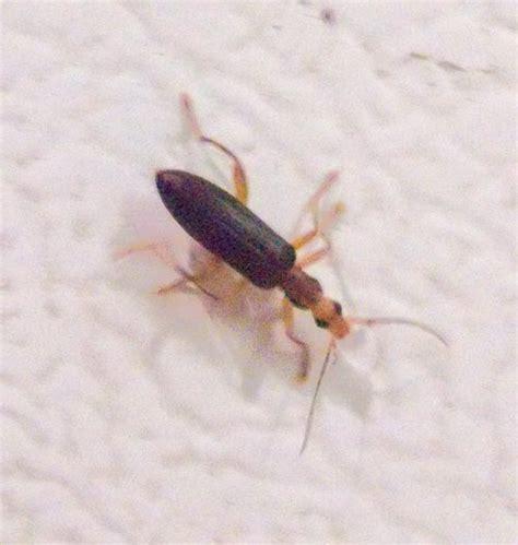 bed bug shoo long bugs