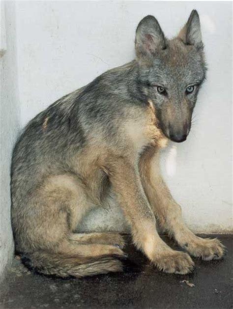 czechoslovakian wolfdog puppies 25 best ideas about czechoslovakian wolfdog on husky cross breeds wolf