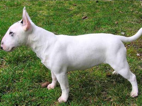Bull Terrier Shedding by Miniature Bull Terrier Breed Miniature Bull Terrier