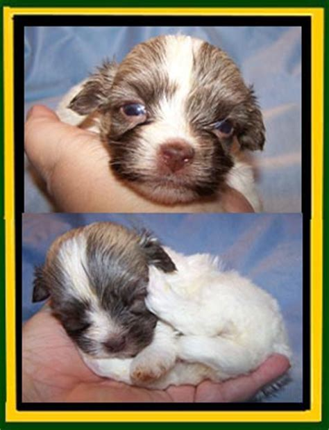 wheat state havanese havanese havanese puppies for sale mini havanese for sale teenie tiny purse size