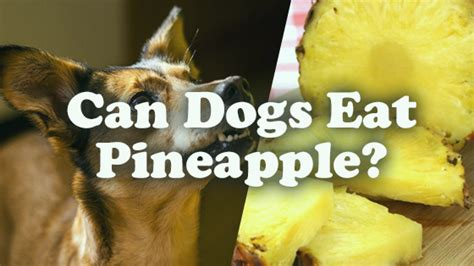 can puppies eat pineapple can dogs eat pineapple pet consider