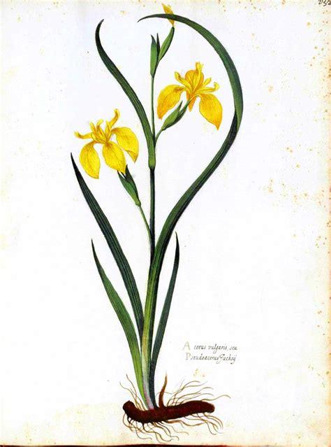 botanical flower carnation italian 11 domain imagespublic domain images