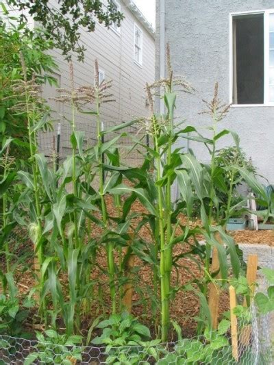 how to grow corn in your backyard tips on growing corn in the garden