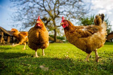 allevamento galline ovaiole in gabbia una vita in gabbia il crudele destino delle galline