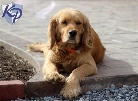 golden retriever to buy buy a golden cocker retriever 2015 keystone puppies