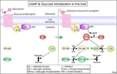 protein kinase protein kinase a causes symptoms treatment protein kinase a