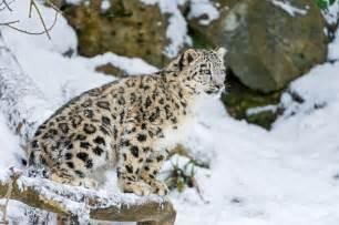 Snow Jaguar Snow Leopard Cat Kitten Snow Leopard Winter Snow 169 Tambako