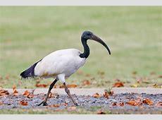 African Sacred Ibis – Bird & Wildlife Photography by ... Habitat Online Shop