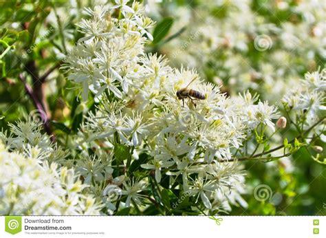 pianta fiori bianchi profumati pianta ricante con fiori bianchi profumati decora la