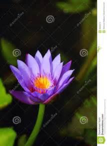 Single Lotus Single Lotus Stock Photo Image 46032375