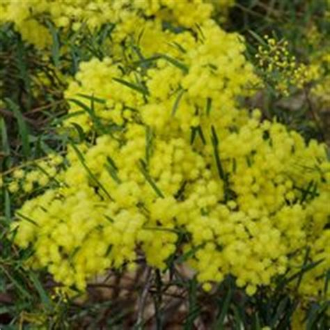 evergreen shrub with yellow flowers 1000 images about garden ideas on evergreen