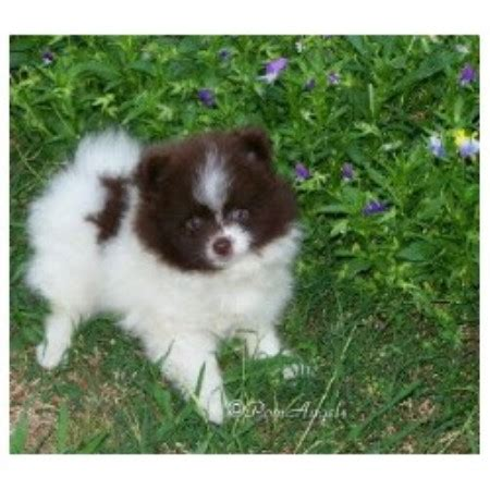 pomeranian rescue alabama touch poms pomeranian breeder in ethelsville alabama listing id 11208