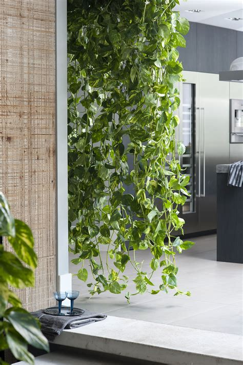 zimmerpflanzen ranken de zimmerpflanzen wasserfall und pflanzen
