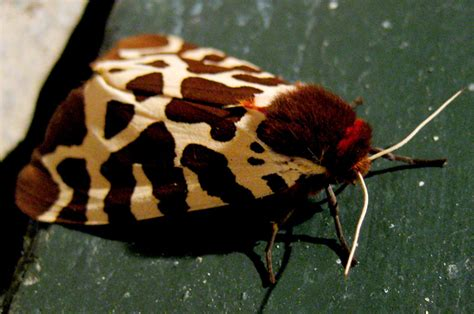 Garden Tiger Moth by Tiger Moths And Arctiids Archives Page 11 Of 40 What S