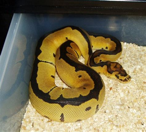 reduced pattern pastel ball python reduced pattern clown ball pythons net gallery