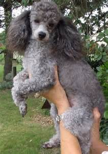 names for silver dogs 1000 ideas about caniche on poodle perros caniches and mini puppies