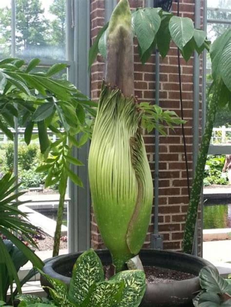 corpse flower botanical garden corpse flower blooms at missouri botanical garden news