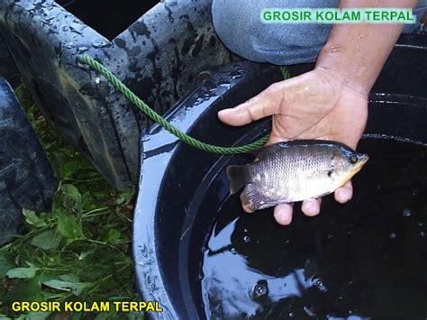 Bibit Ikan Gurame Di Banda Aceh ternak lele kolam terpal agro terpal