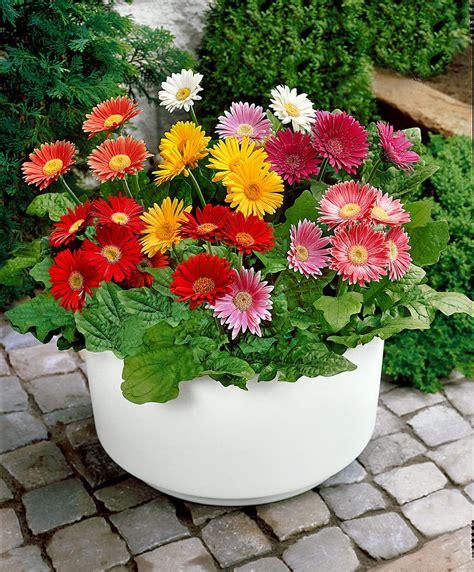 fiori gerbere gerbere in mix bakker