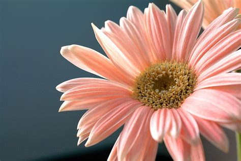 Gerber Daisies by Free Photo Gerbera Daisy Flower Plant Free Image On