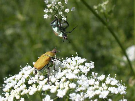 käfer im garten artenschutz insekten kirchberg tirol fortsetzung