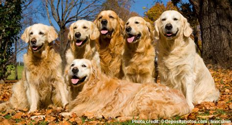 golden retriever health facts golden retriever breed information facts and figures