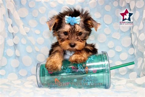 the cutest yorkie in the world 10 cutest yorkie puppies 10 cutest yorkie puppies in the world breeds picture