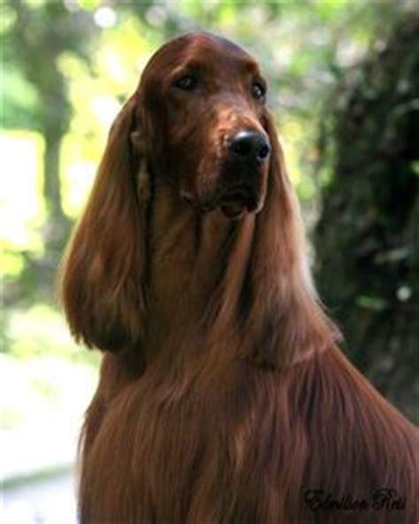 irish setter dog grooming grooming irish setter feet m4v youtube irish setter