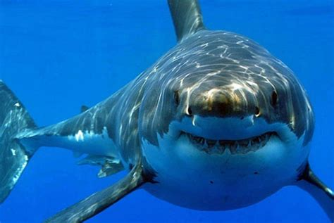 film barat ikan hiu nelayan ntb tangkap 8 006 ikan hiu republika online