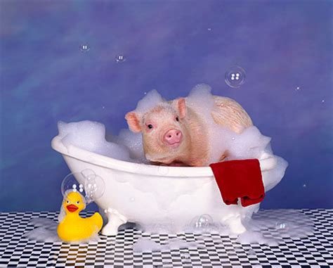 pig in a bathtub pig in a bathtub 28 images disco pig monkeybroth