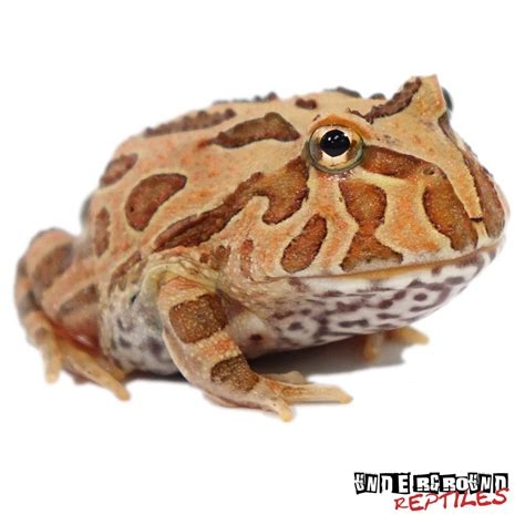 brown pacman frogs for sale underground reptiles