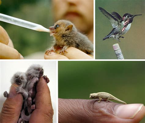 tiny tiny 15 of the world s most adorable miniature animals webecoist