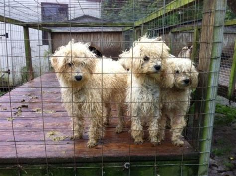 puppy mills in nc nc puppy mill rescue 183 a humane nation