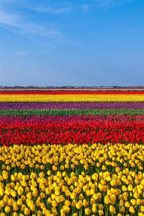 netherlands tulip fields keukenhof tulip field netherlands dutch memories