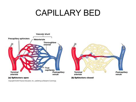 capillary beds the cardiovascular system blood vessels ppt download