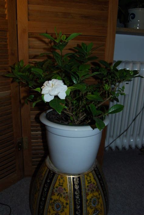 growing aromatic houseplants indoor plants  smell good