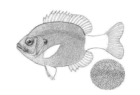 Fish Scales Drawing
