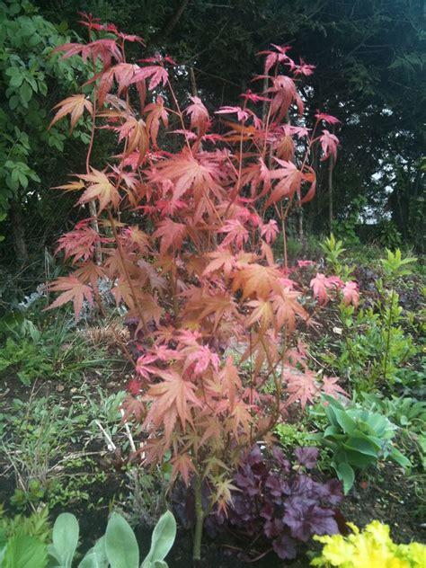 acer palmatum phoenix acer palmatum phoenix