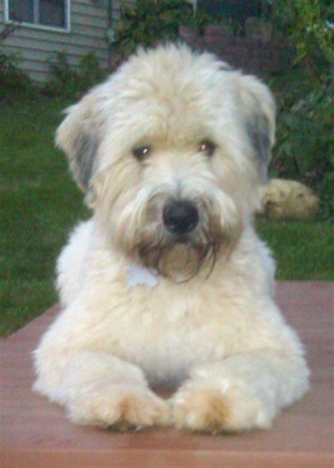 soft coated wheaten summer coat cut why wheaten terriers are the best family dog in the world