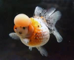 pearlscale goldfish pearlscale goldfish crown pearlscale goldfish