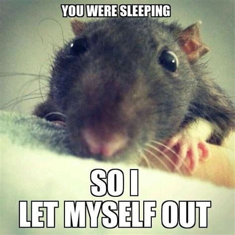 Spn Kink Meme Pinboard - rat meme 28 images 356 best images about rats on