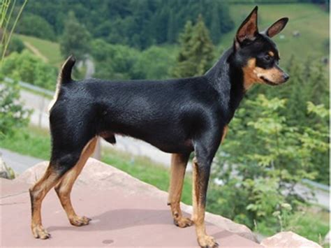 cc  breedsrusskiy toy terrier russkiy toy big ears erect tail canine chronicle