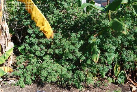 Southern California Botanical Gardens Plantfiles Pictures Tapioca Plant Cassava Yuca Manioc Mandioca Manihot Esculenta By Palmbob